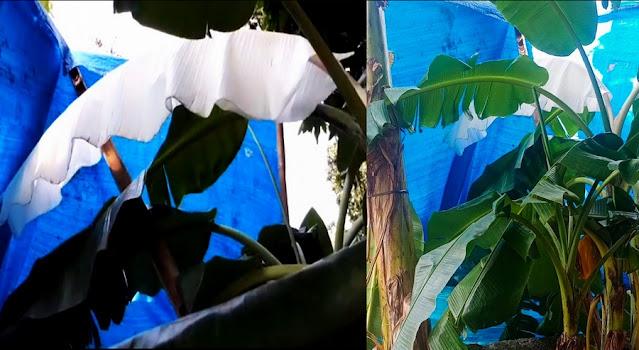 Kuasa Allah, Pohon Pisang Berdaun Putih Seperti Mori, Ini Kata Tim Ahli
