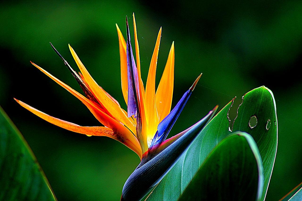 Flor ave del para so strelitzia reginae amigos de la - Noms de fleurs et plantes ...