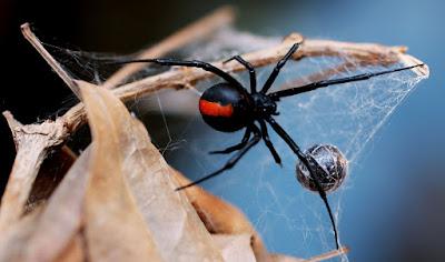 karadul-örümceği