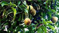 gambar buah bacang