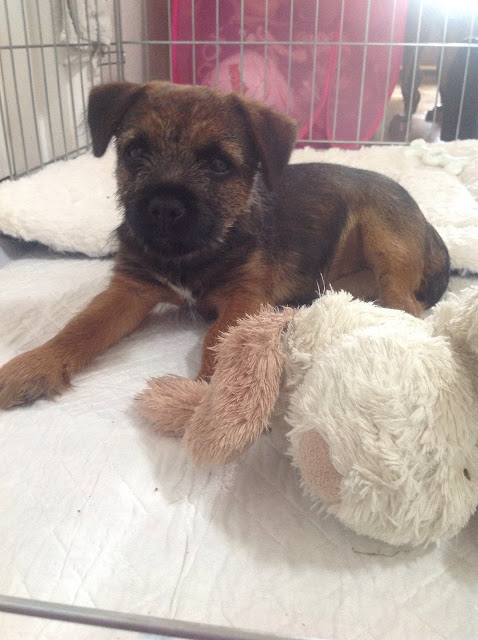 border terrier puppy in a crate