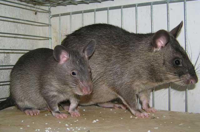 Tikus Raksasa Gambia