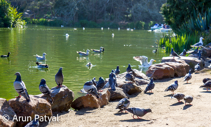 The lakes are surrounded by lot of birds and you can see lot of birders around this place. Depends upon the time of the year, you can also see migratory birds around Golden Gate park. Kids enjoy this part of the Golden Gate park a lot.