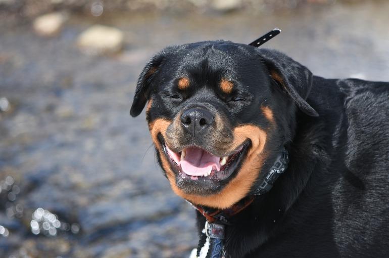 Training of  Rottweiler