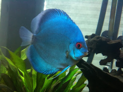 Harga Ikan Discus Blue Diamond