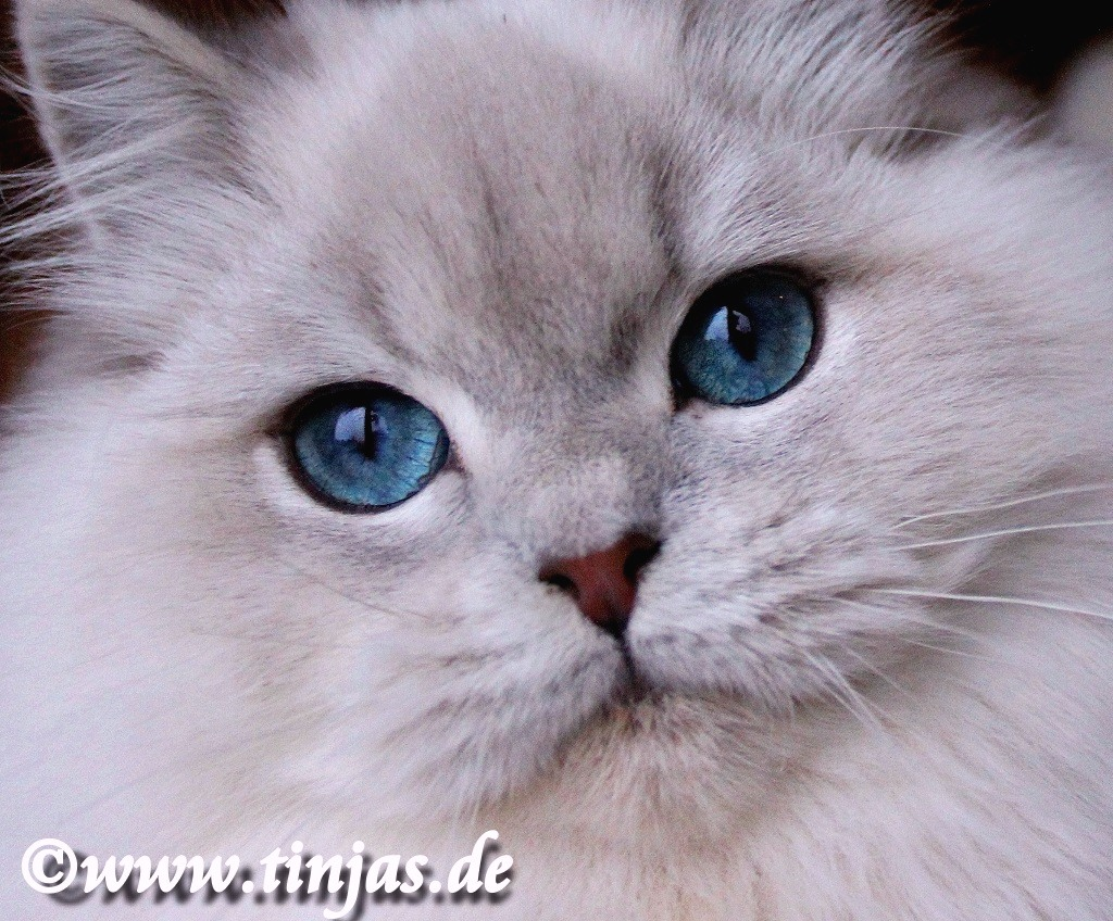 BLH Kater in blue golden tabby point