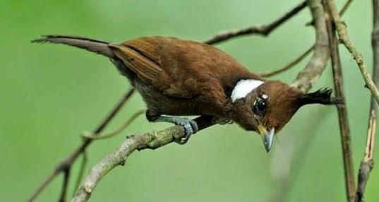 Burung Masteran Kenari, Branjangan,caladik,Ciblek Dll