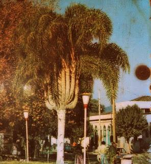 Coqueiro com Dez Galhos, na Praça Celso Ramos, em Orleans. Transplantado da Localidade de Barracão.