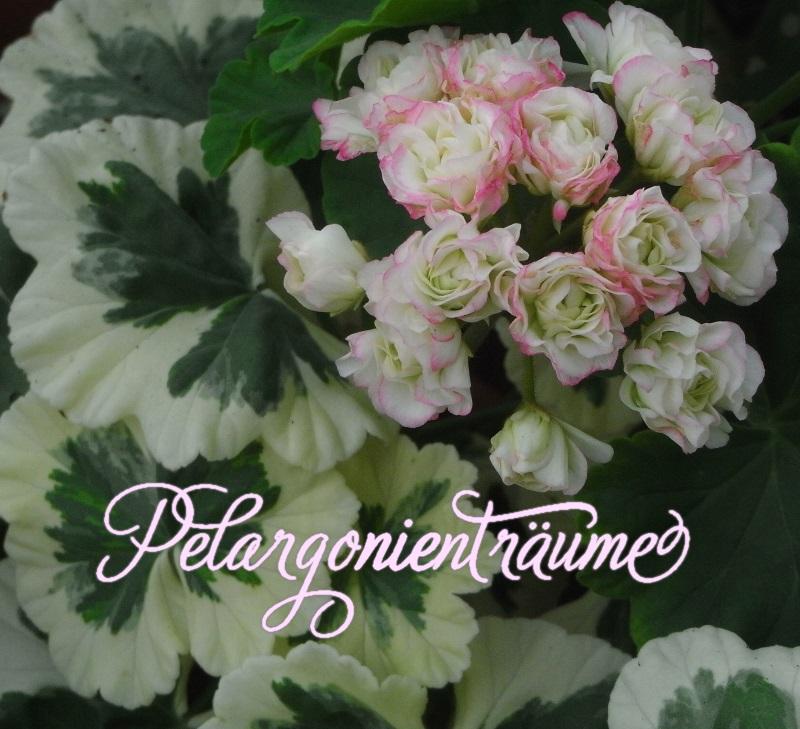 pelargonientr ume westdale appleblossom. Black Bedroom Furniture Sets. Home Design Ideas