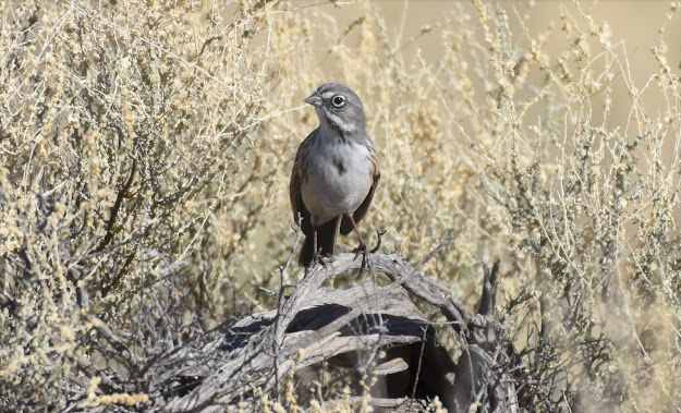 Sagebrush Sparrow in Marana