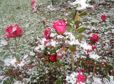 Azalea rosa bajo la nieve