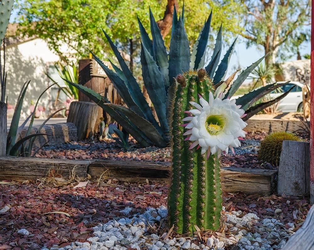 Merikay S Dream Cactus Flower At Rio Bend Rv Resort El