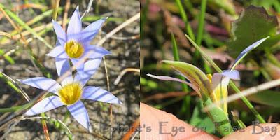 True blue Romulea tabularis Kommetjie in September
