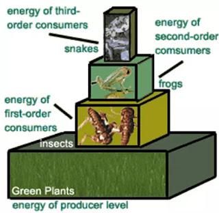 Piramida energi menunjukkan jumlah energi di setiap tingkat jaring makanan.