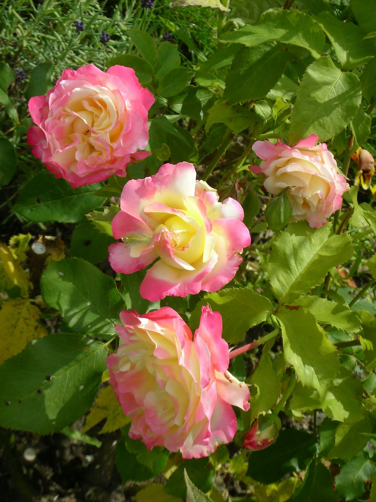 Julia S Gardens Double Delight Rose