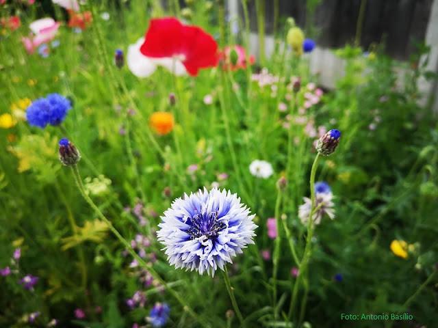 Campo de flores silvestres, em Manchester, Inglaterra