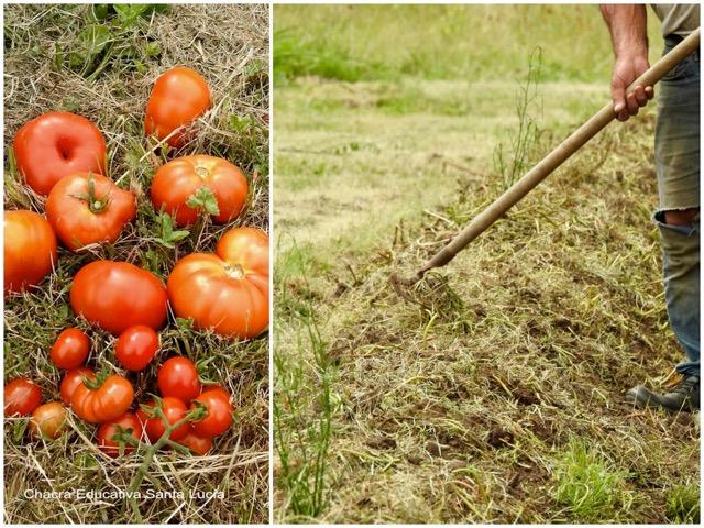 Tomates recién cosechados / Preparando los canteros - Chacra Educativa Sta Lucía