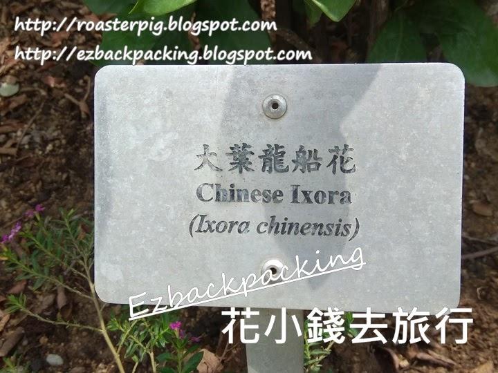 香港大葉龍船花 ixora chinensis
