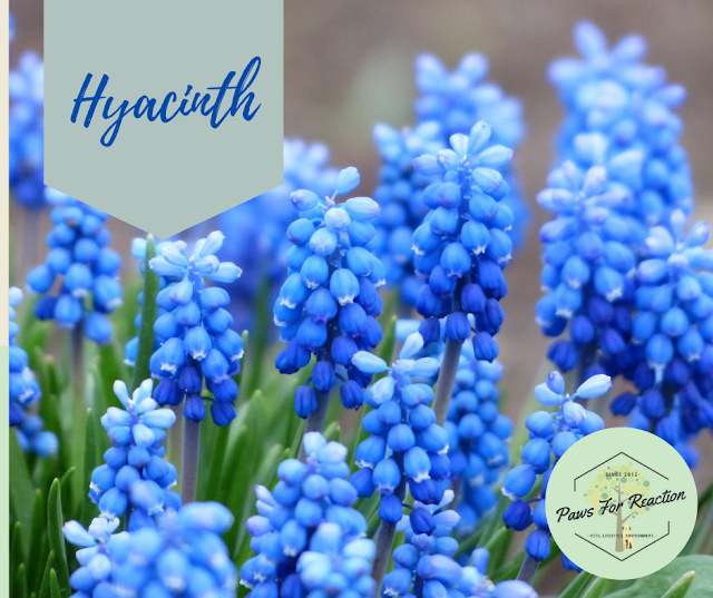 Spring safety 10 common flowers that are toxic to dogs Hyacinth