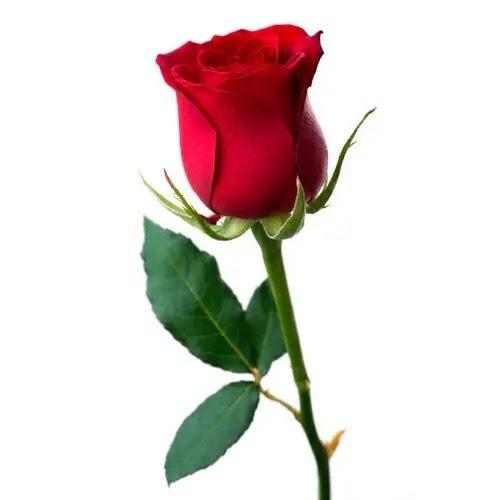 صور ورد طبيعي رومانسي احمر