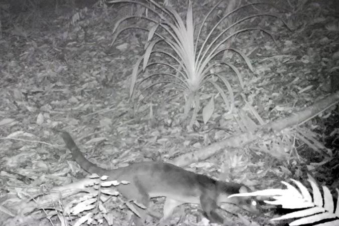 Dlium Sulawesi palm civet (Macrogalidia musschenbroekii) appears again in Bogani Nani Wartabone National Park