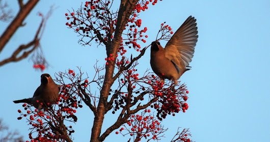 A Waxwing End To 2016