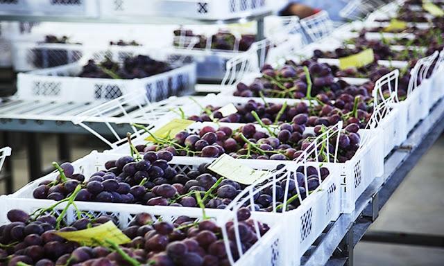 Exportador mundial de uva