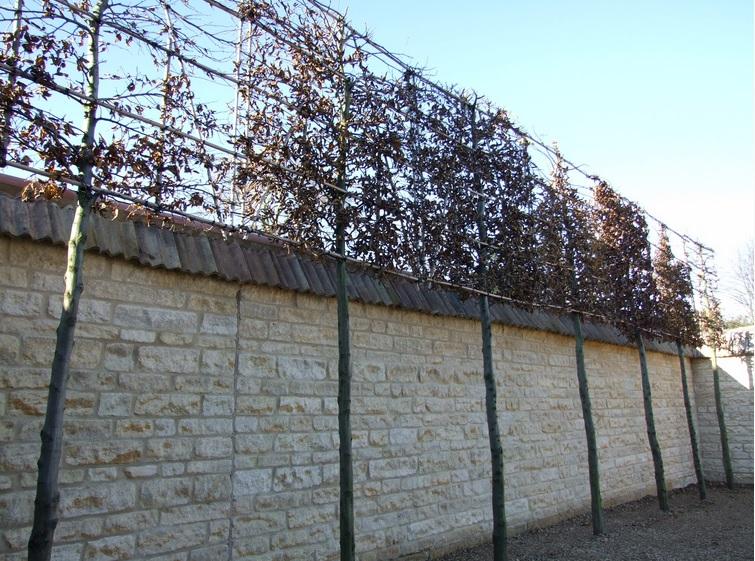 David Dangerous Pleached Trees Stilted Trees Raised