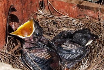 Tips Dan Cara Paling Akurat Membedakan Burung Kacer Bahan Anakan Trotolan Jantan Dan Betina
