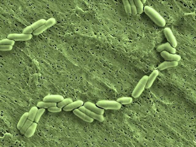 macam macam bakteri baik