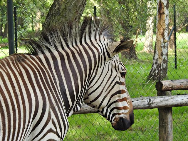 zebra Hartmana ma piękne pasy