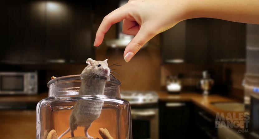 Cara Aman Mengusir Tikus dari Rumah