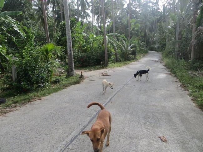 Свора собак на дороге Таиланд
