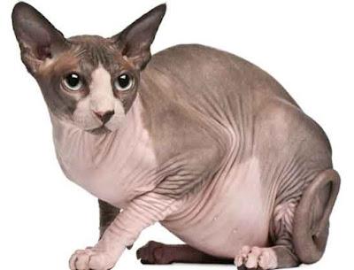 Contoh gambar kucing sphynx