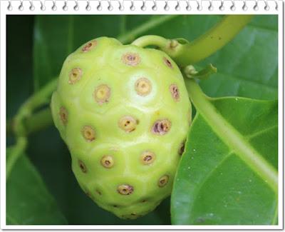Manfaat buah mengkudu untuk kesehatan tubuh manusia