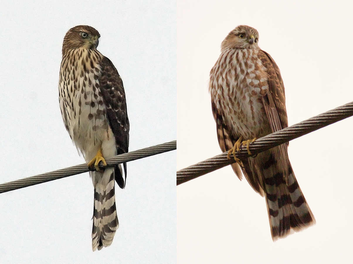 Wing Tips Sharp Shinned And Cooper S Hawks