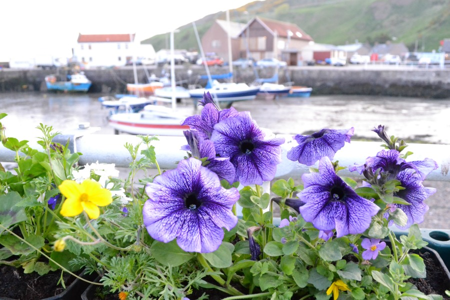harbour flowers pansies gourdon scotland angus coastal route seaside