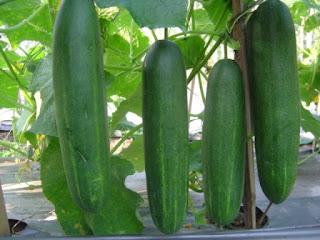 manfaat timun, mentimun, kandungan gizi, jual benih F1 Roberto, Benih Kapal Terbang, toko pertanian, lmga agro