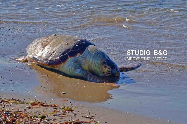 Νεκρή θαλάσσια χελώνα στη Νέα Κίο (βίντεο)