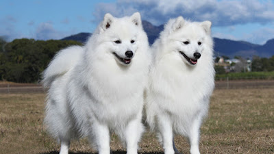 Japanese Spitz Dog couple