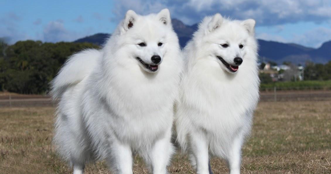Japanese Breed Of Spitz Dog