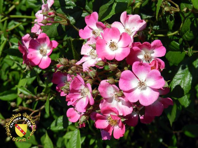 VILLERS-LES-NANCY (54) - La roseraie du Jardin botanique du Montet - Rose Mozart