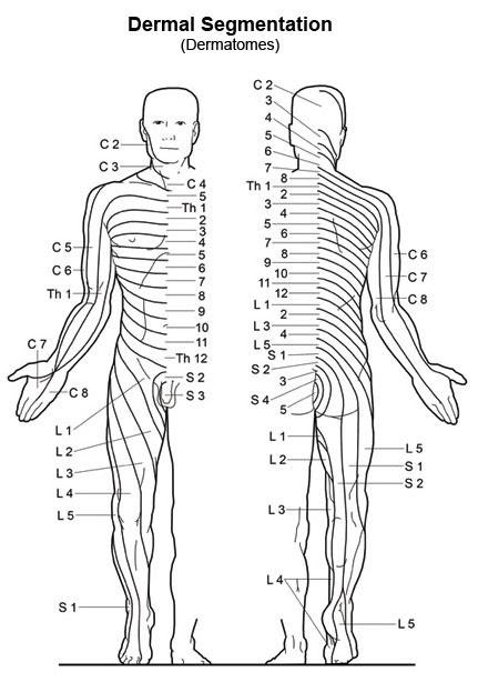 Dermatomes Chart 20x26