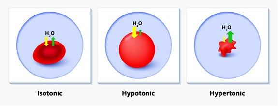 İzotonik Anlamı Nedir?