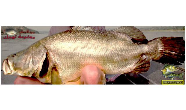 سمك قشر البياض أو عجل البحر أو الساموس