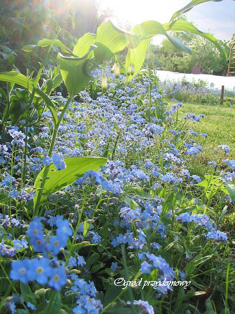 Dzień Polskiej Niezapominajki, niezapominajka ogrodowa, ogród przydomowy