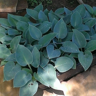 Tray of Halcyon Hostas with blue foliage
