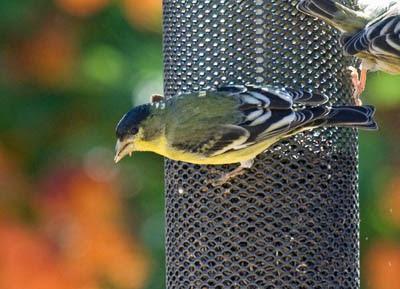 Photo of Lesser Goldfinch on bird feeder