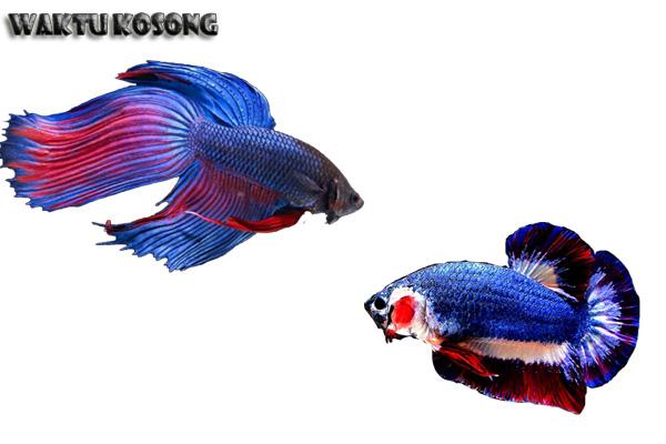 Jenis Ikan Laga Yang Paling Banyak Di Minati Jenis Ikan Laga Yang Paling Banyak Di Minati