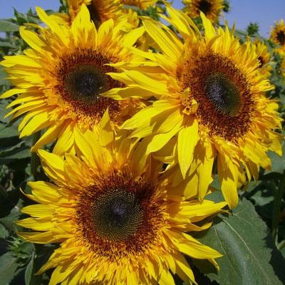 向日葵種子 高性多莖品種流星雨-橙黃棕心